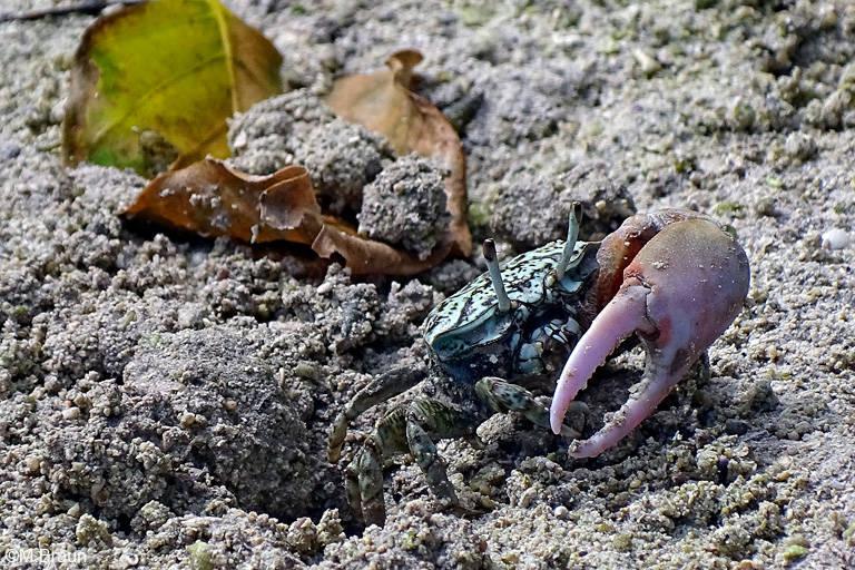Winkerkrabbe - nur die Männchen haben eine große Schere
