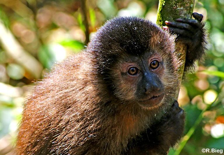 Ihr Verbreitungsgebiet reicht von Kolumbien über Venezuela und Paraguya bis ins nördliche Argentinien