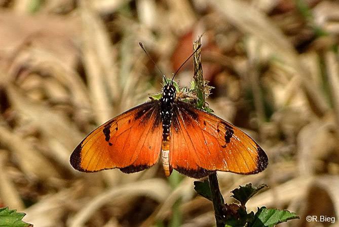 Acraea sp.