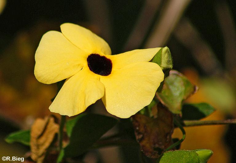 Thunbergia spec. - Acanthaceae