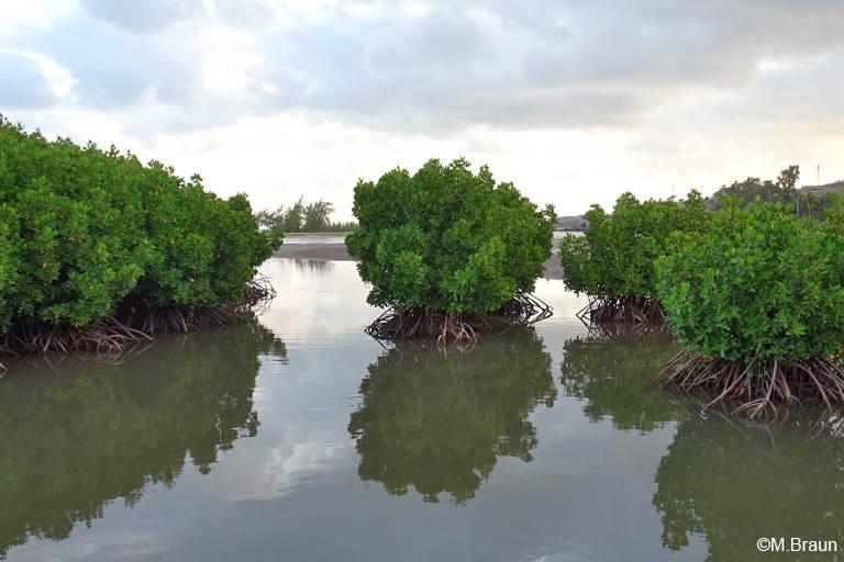 Mangrove an der Südküste