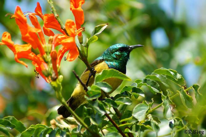 Waldnektarvogel - Hedydipna c. colloris