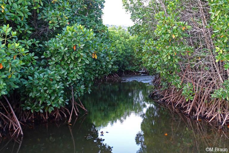 Auch an der Nordküste gibt es noch Mangrove