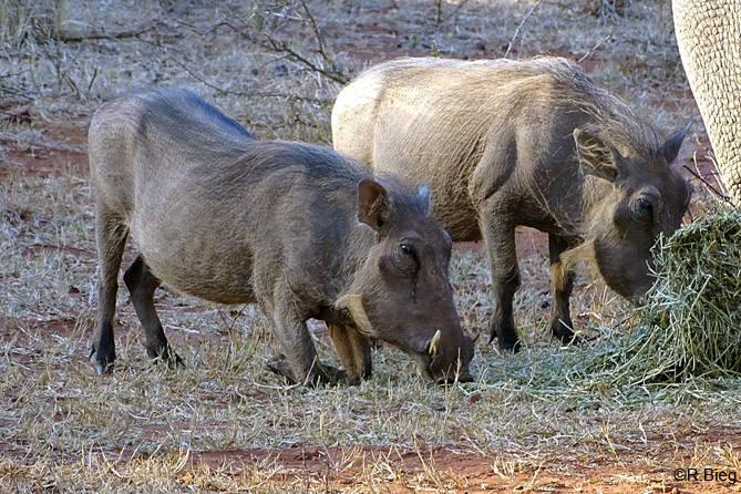 Warzenschweine - Potamochoaerus aethiopicus