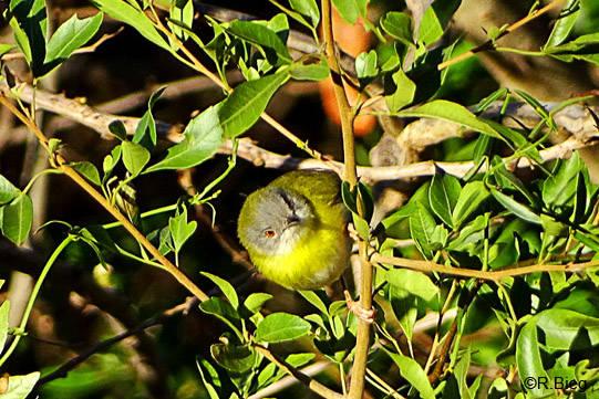 Gelbbauchfeinsänger - Apalis flavida