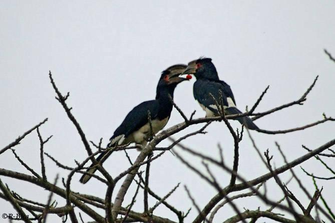 Trompeterhornvogel - Ceratogymna bucinator - eine Liebesgabe