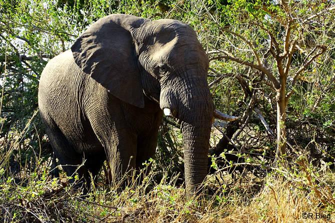 Elefant am Limpopo