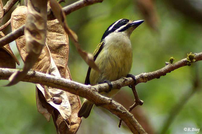 Goldbürzelbartvogel - Pogoniulus b. bilineatus