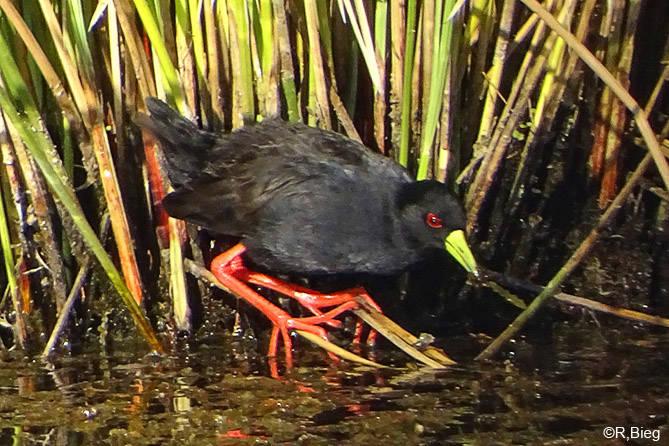 Amaurornis flavirostra - Mohrenralle