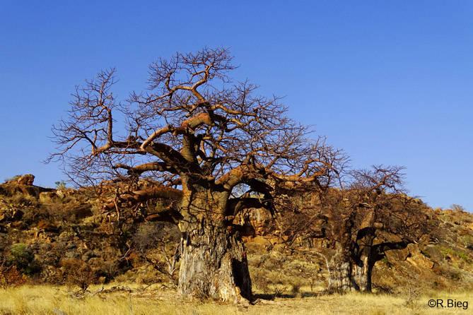 In Mapungubwe sieht man noch zahlreiche Affenbrotbäume