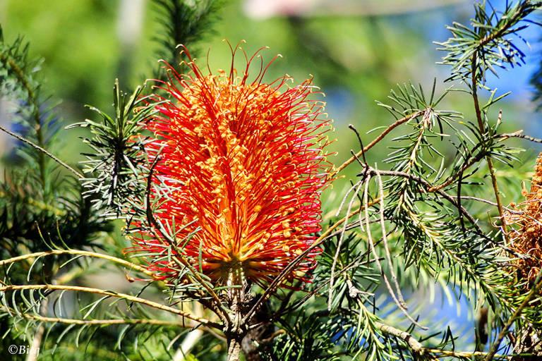 Banksia ericifolia, Protacea