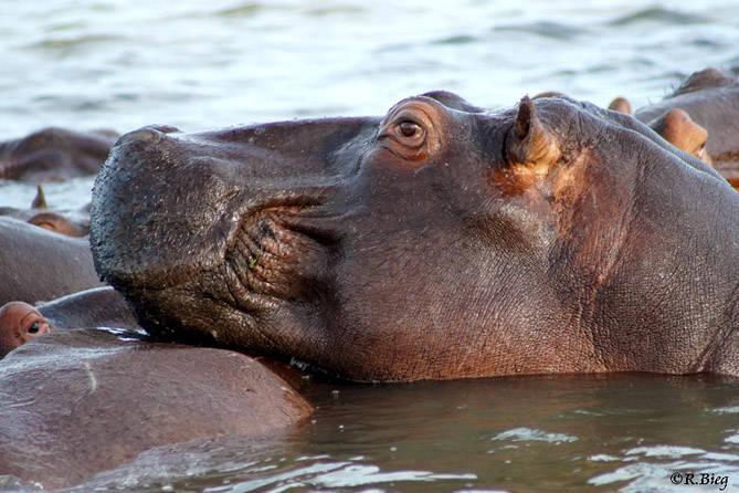 Hippopotamus amphibius - die meiste Zeit des Tages verbringen sie ruhend