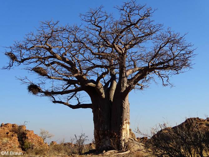 Baobab - Adansonia digitata - die Bäume können viel Wasser speichern