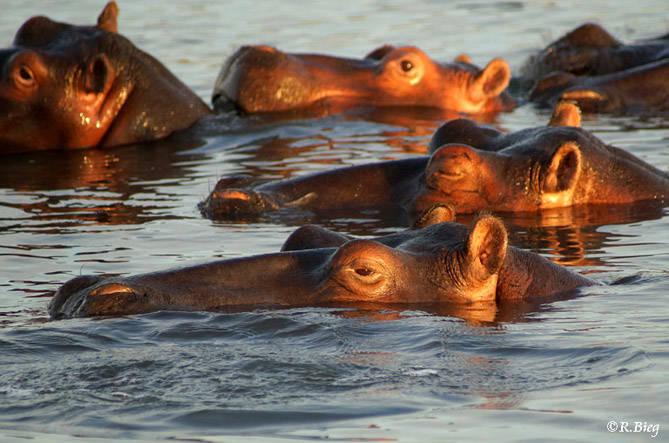 Nilpferde in der Lagune - Hippopotamus amphibius