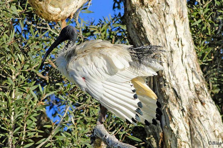 Molukkenibis oder Australischer Ibis - Threskiornis molucca