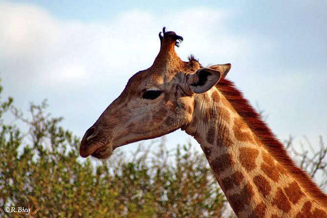 Giraffa camelopardis - obwohl der Hals so lang ist, besteht die Halswirbelsäule aus nur 7 Wirbeln