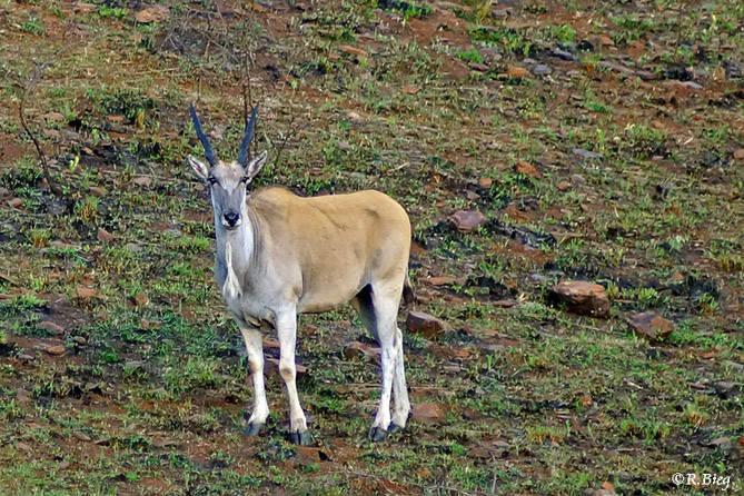 Elan-Antilope - Taurotragus oryx