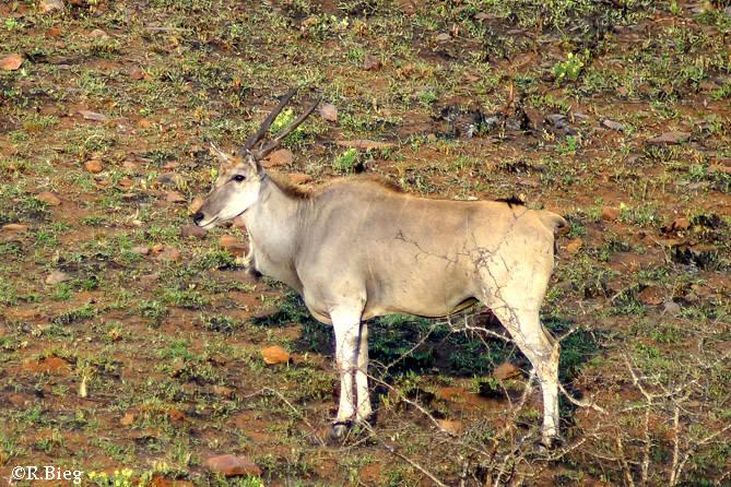 Elan-Antilope - die größte Antilope Südafrikas, sie können 900 kg schwer werden