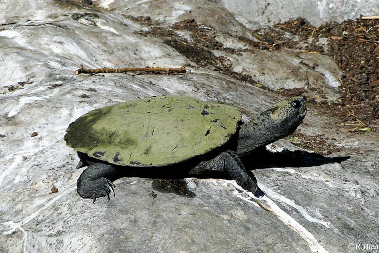 Schildkröte im Chinesischen Garten, unbestimmt