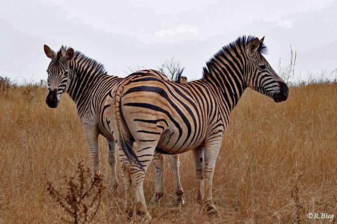 Burchell´s Zebra - Equus burchelli, die am häufigsten vorkommende Zebra-Art