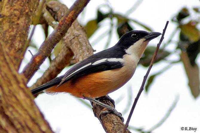 Flötenwürger - Laniarius ferrugineus natalensis