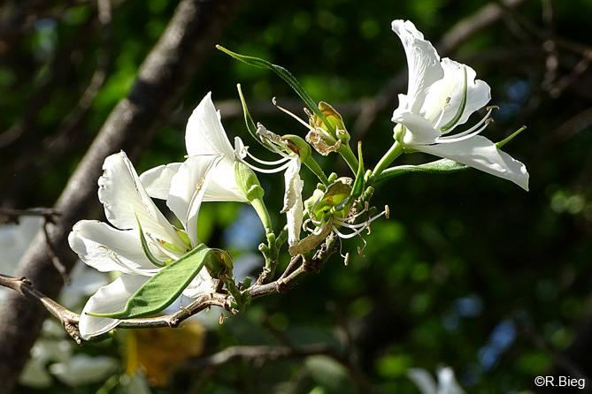 Bauhinia sp.