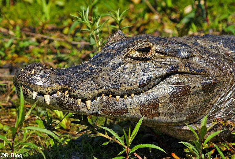 er gehört zur Familie der Aligatoren und wird bis zu 2 m lang