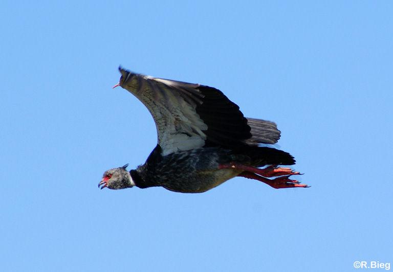 Chauna torquata - ein Wehrvogel