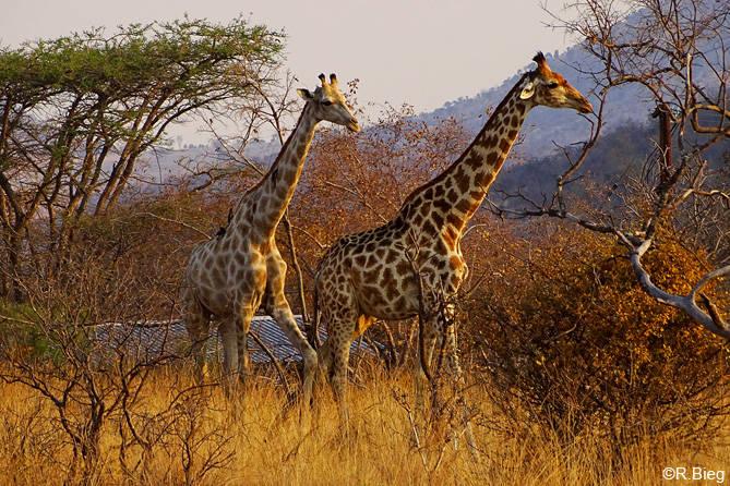 Giraffen  - abends in Kololo