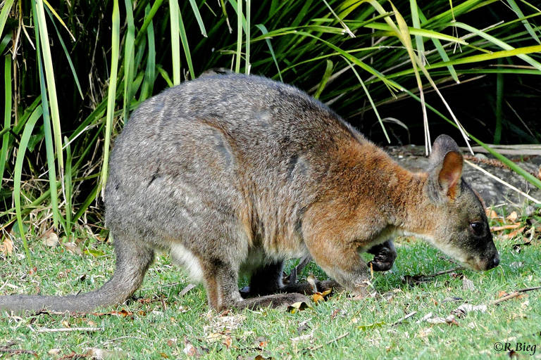 Rotnackenwallaby - Thylogale thetis