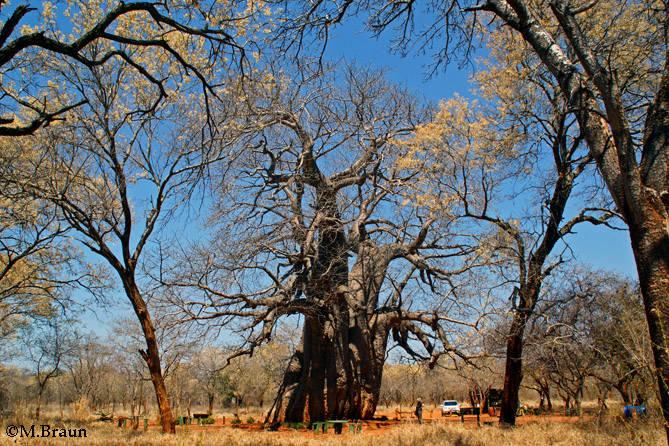 Ein weiterer Baobab vor Phalaborwa - weniger touristisch