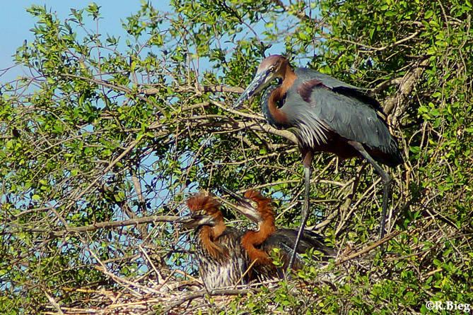 Ardea goliath - ein Nest am Lake Panic