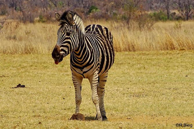 Burchells-Zebra - Equus quagga burchellii