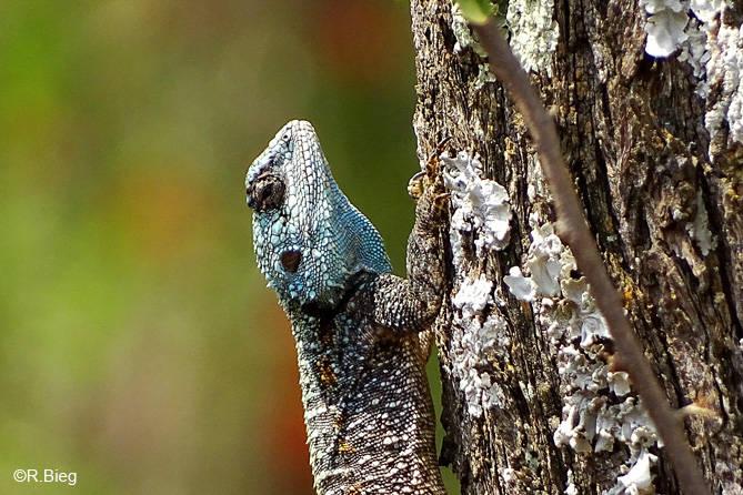 Acanthocercus atricollis - die Männchen haben einen blauen Kopf