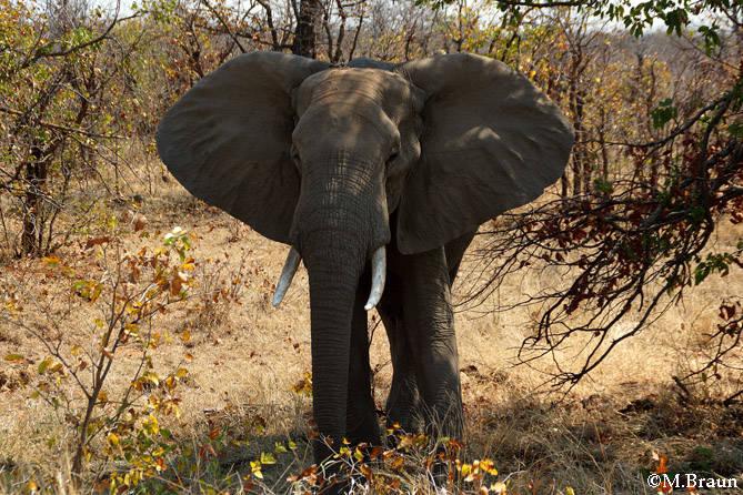 Loxodonta africana - er ist das größte Landsäugetier