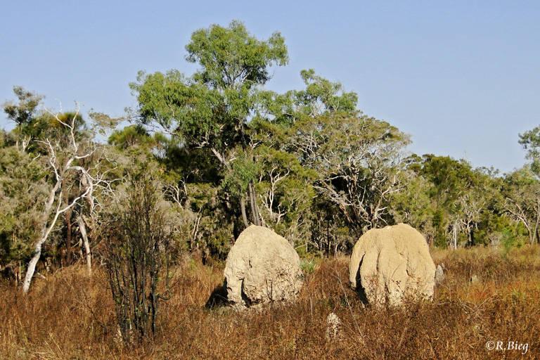 Termitenbauten in der Nähe von Mareeba