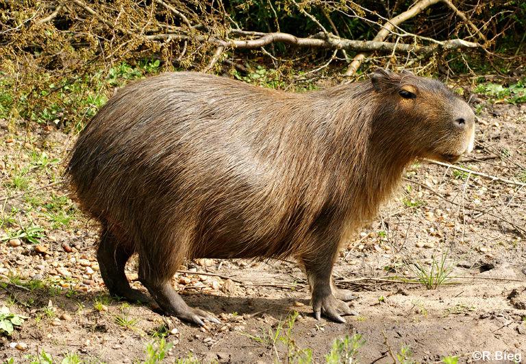Capybara - Hydrochaeris hydrochaeris - das größte lebende Nagetier