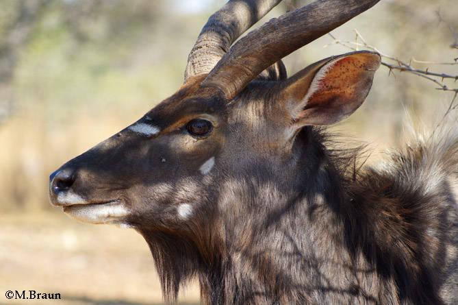Nyala angasii - Sie leben in bewaldeten Gebieten