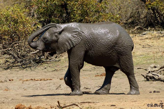 Loxodonta africana - ein Schlammbad für die Haut