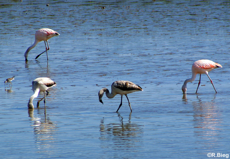 Flamingos in San Clemente
