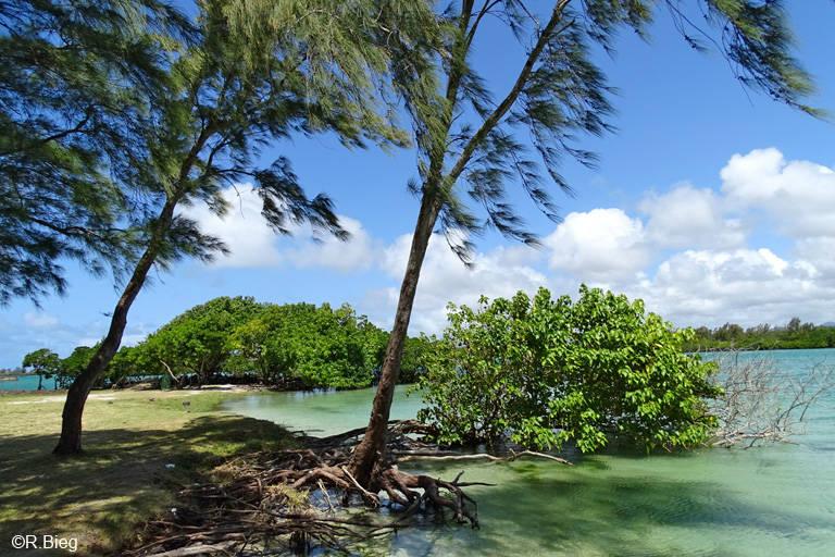 Hier gibt es noch wenige Mangrovenbäume