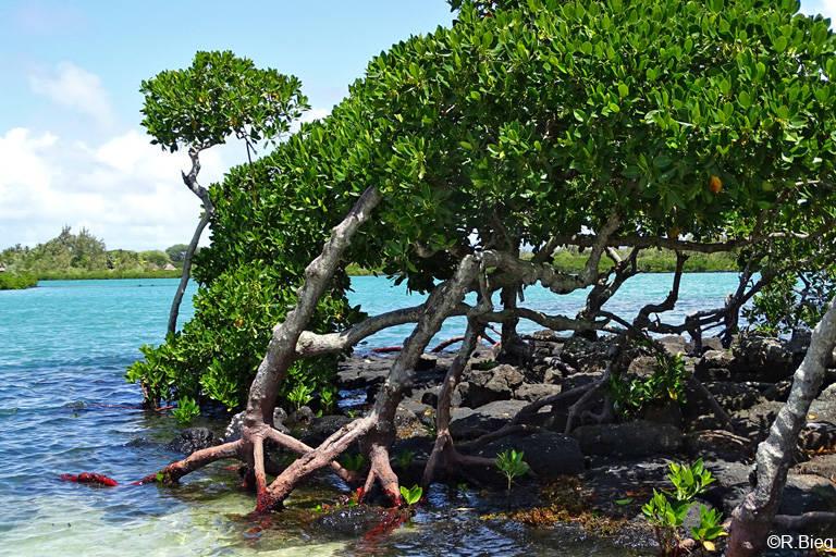 Die Stelzwurzeln einer Mangrove