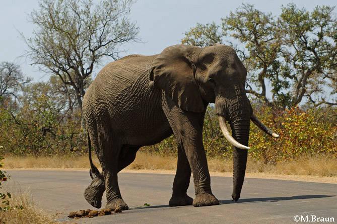 Loxodonta africana - sie haben immer Vorfahrt