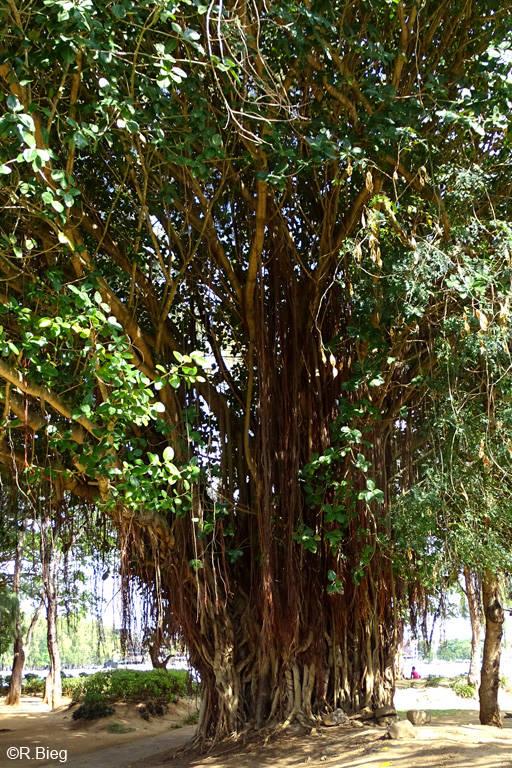 Eine große Würgefeige - Ficus sp.