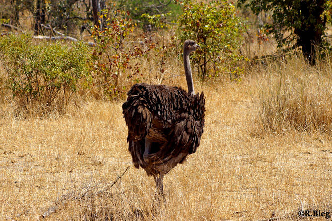 Strauß - Struthio camelus australis - der größte Laufvogel