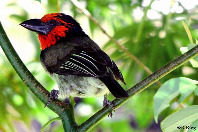 Lybius torquatus - Halsbandbartvogel