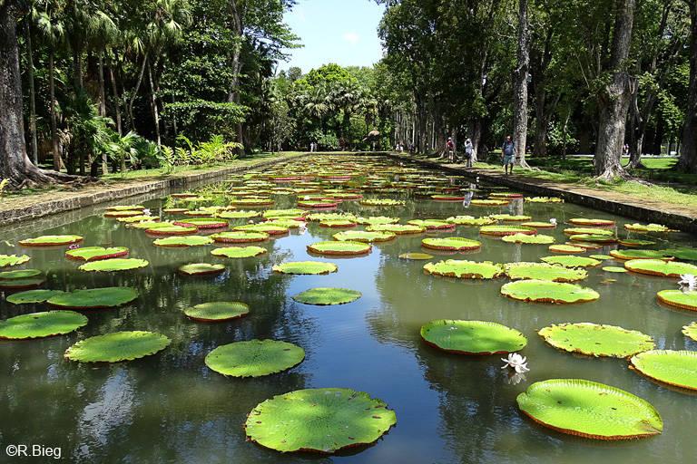 Der Teich mit den Amazonas-Riesenseerosen
