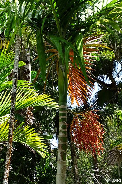 Betelnusspalme - Areca catechu