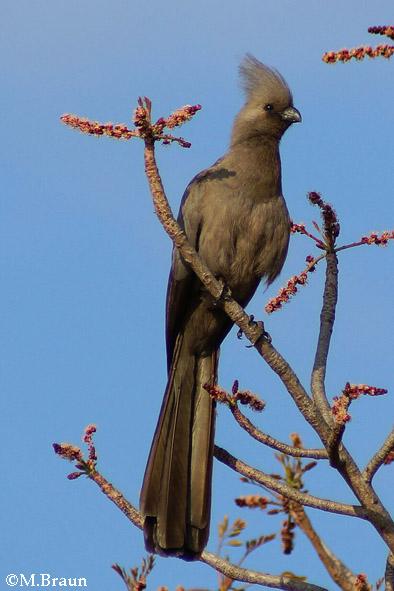 Lärmvogel - Corythaixoides c. concolor