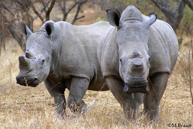 Zum Schutz vor Wilderei wurden die Hörner abgesägt